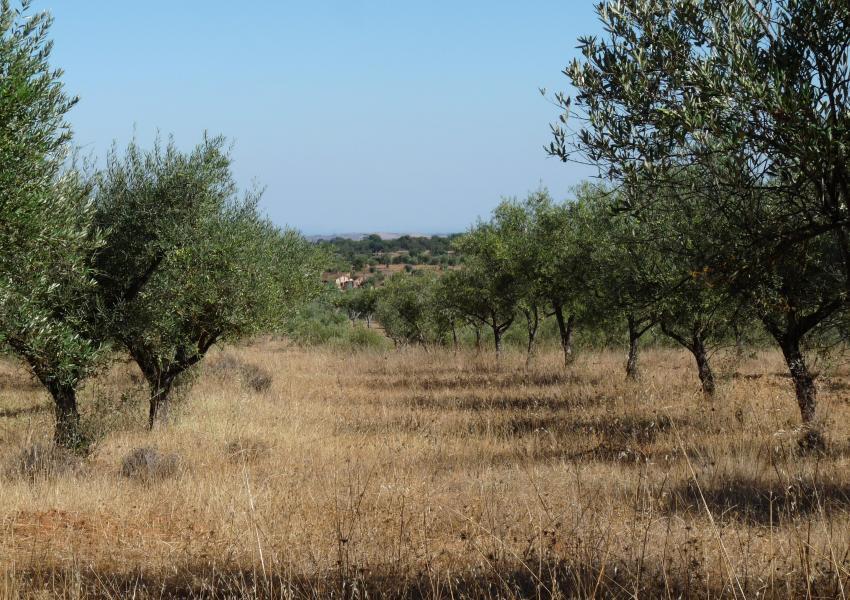Oliveraie à Evora