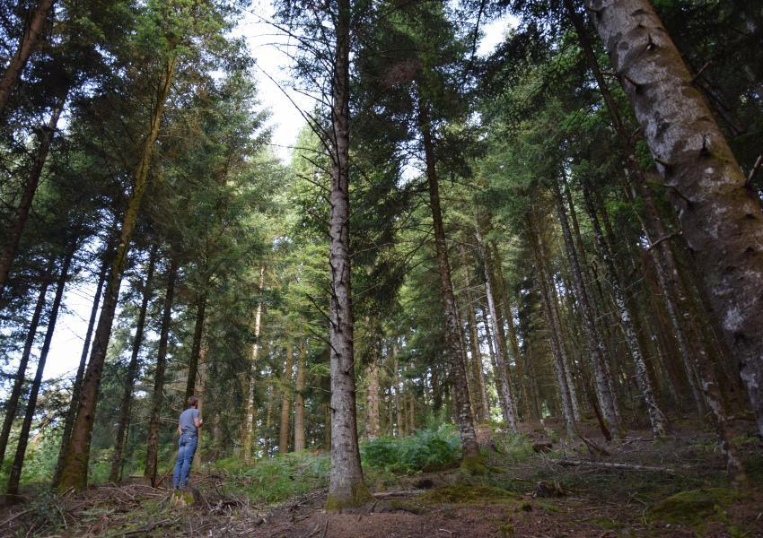 Forêt de résineux en Livradois-Forez