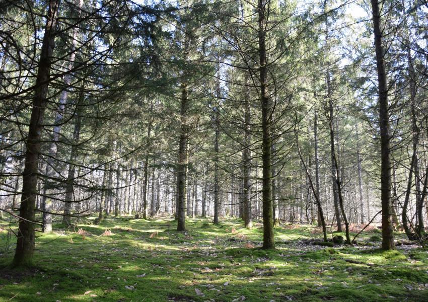 Propriété Forestière de résineux en Corrèze