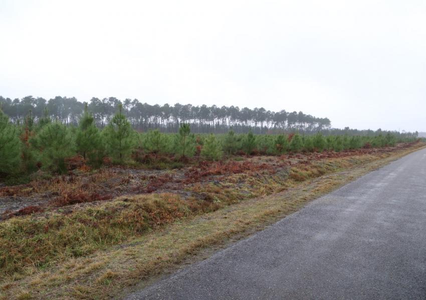 Plantation de Pins Maritimes dans les Landes