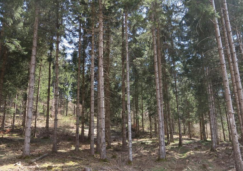 Forêt de production sur le plateau de Hauteville Retord