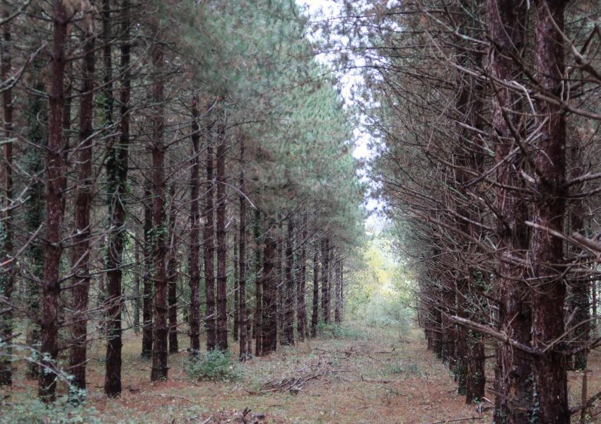 Plantation de pins et de cèdres du Lot-et-Garonne