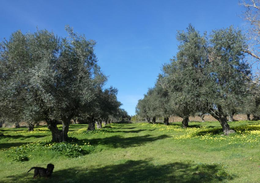 Farm with 4.7 hectares and 400 sqm house, swimming-pool and several orchards, in the Village of  Portel, next to Évora