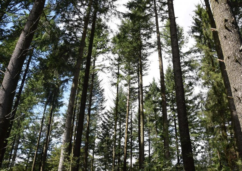 Forêt de production dans le Cantal