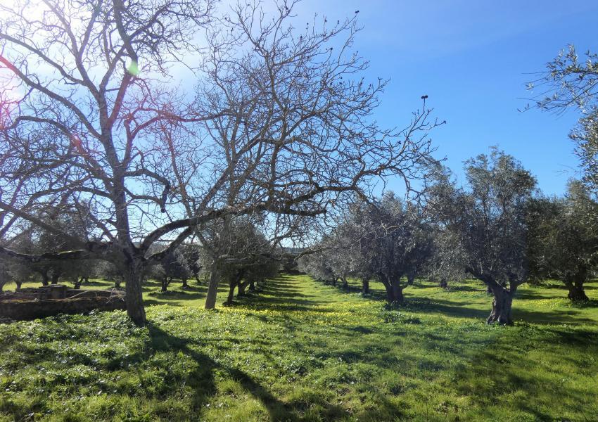 Quinta au coeur d'une Oliveraie - Région de Portel