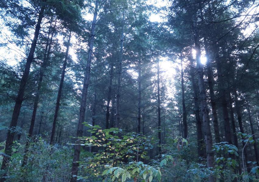 Forêt de douglas en Allier