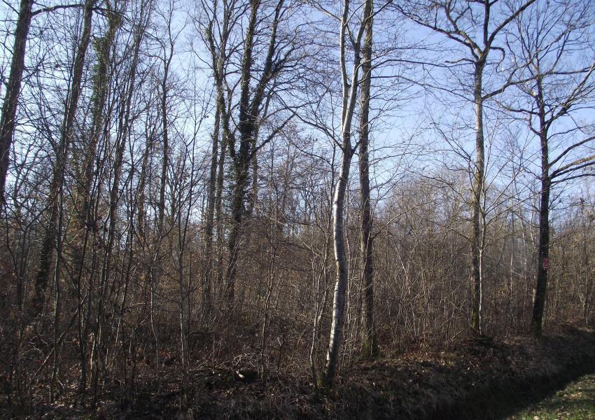 Forêt de chênes