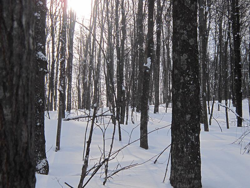 Forest estate in the Outaouais area, western Quebec: Natural Maple Forest