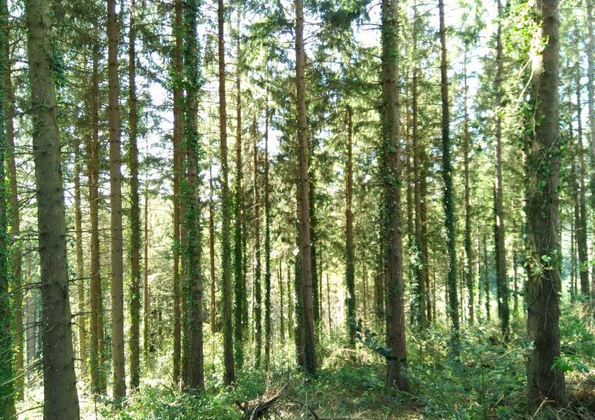 Forêt de production résineuse dans l'Aude