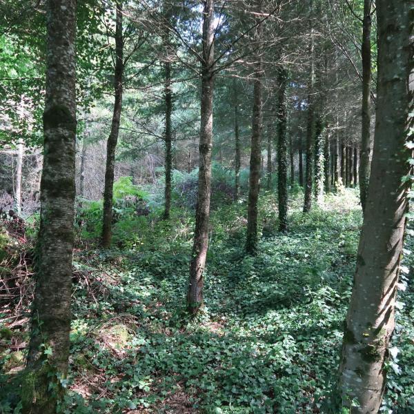 Plantation de Douglas et de Châtaignier dans le Limousin