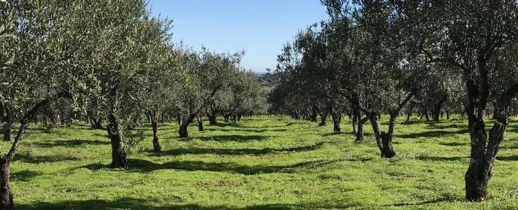 Acheter une oliveraie au Portugal