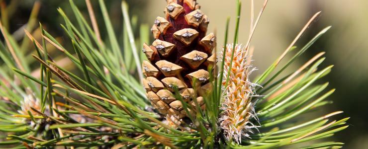 Austrian black pine