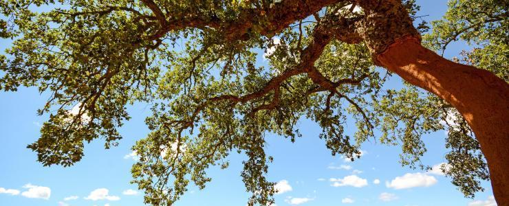 O sobreiro: uma árvore generosa