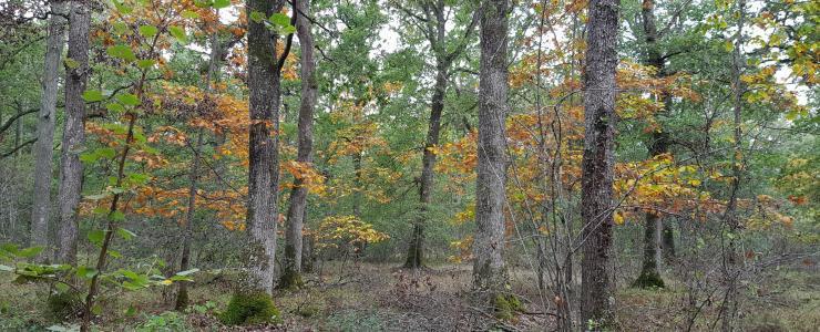 Forêt de production de chênes dans l'Allier
