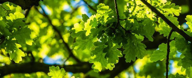 Le chêne a de l'avenir