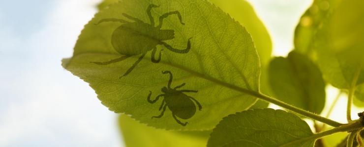 Maladie de Lyme, une menace sérieuse