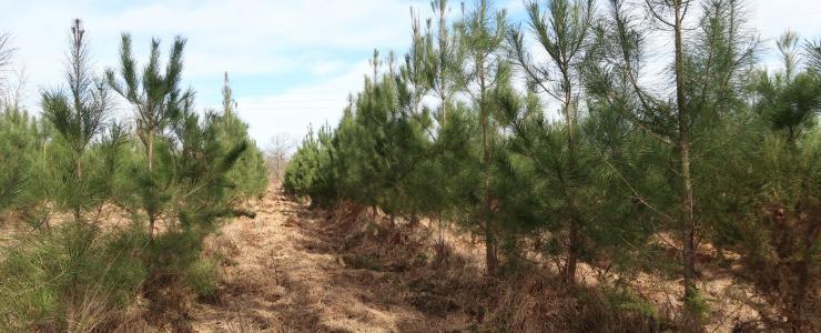 Forêt de Production dans les Landes