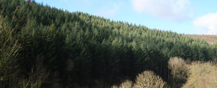 Forêt de production dans le Puy-de-Dôme