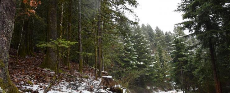 Forêt de production dans le Haut-Rhin