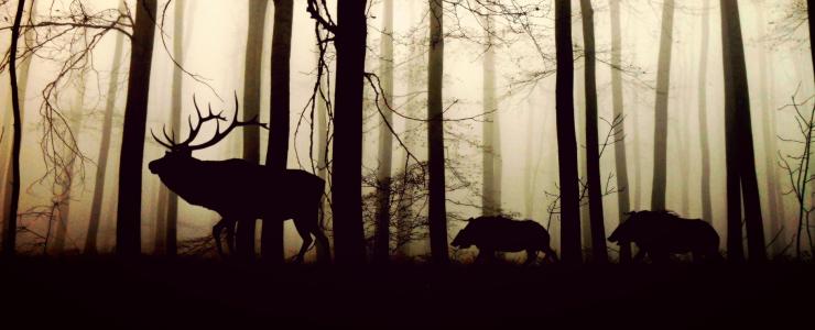 La peste porcine africaine, quel impact pour la forêt?