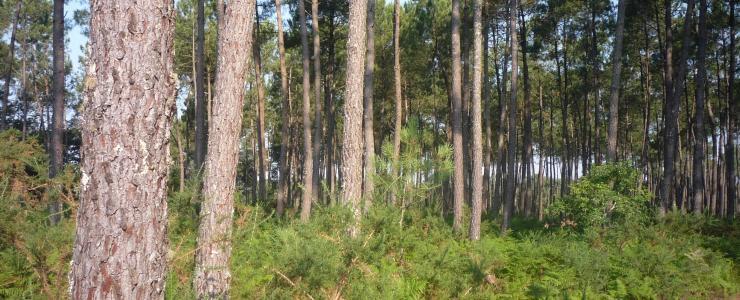 Massif forestier dans les Landes